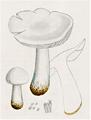 Bresadola - Tricholoma columbetta.png