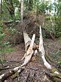 Broken tree in Ruissalo.jpg