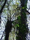 Bromélia no alto de árvore 4.jpg