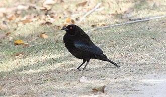 Cowbird - Image: Bronzed Cowbird (Molothrus aeneus) (7223072934)