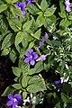 Browallia speciosa Marine Bells 0zz.jpg