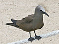 Brown Noddy RWD.jpg