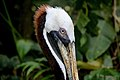 Brown Pelican - Pelecanus occidentalis (33513334302).jpg