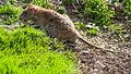 Brown Rat (19143365308).jpg