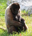 Brown Woolly Monkey 041.jpg