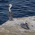 Brown pelicans in La Jolla (70659).jpg