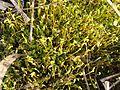 Bryophyte sp Moss 3.jpg