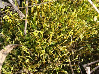 Bryophyte - Mosses are one group of bryophytes.