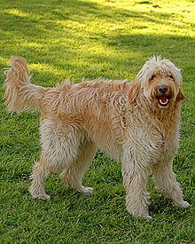 Srst Psa Wikipedie