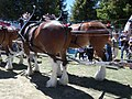 Budweiser Clydesdales - panoramio.jpg