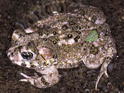 Bufo californicus1.jpg