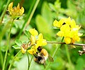 Bumble Bee on a small yellow flower.jpg
