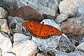 Butterfly2 (239891920).jpg