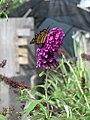 Butterfly on Butterfly Bush (6167738532).jpg