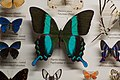 Butterfly with blue stripes (18729553175).jpg