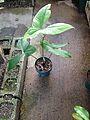 C. cuspidispathum.jpg