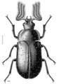 COLE Lucanidae Mitophyllus macrocerus m.png