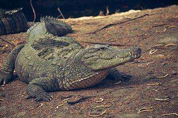 CROCODILE indian.jpg