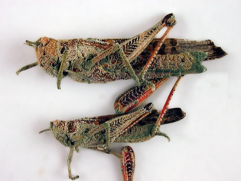 CSIRO ScienceImage 1367 Locusts attacked by the fungus Metarhizium