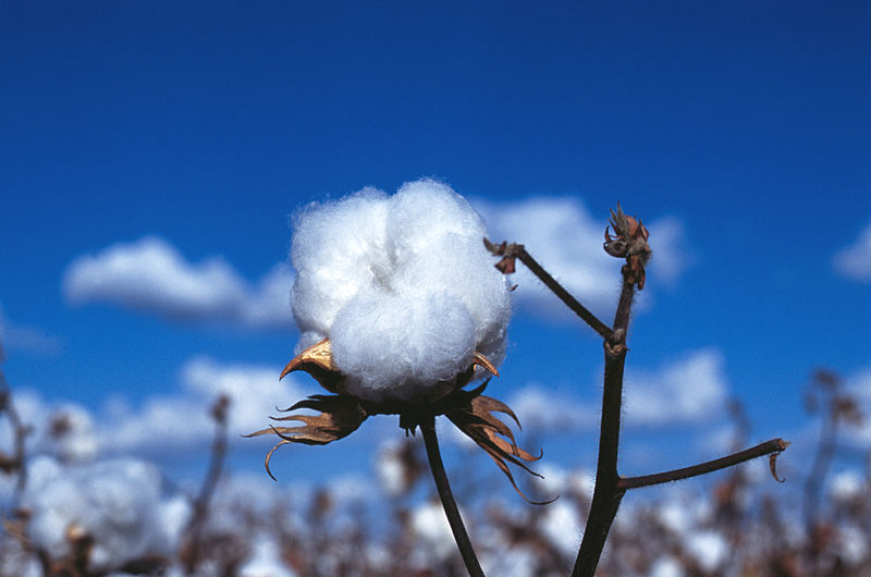 CSIRO ScienceImage 7372 Cotton boll
