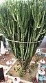 Cactus gigante en el parque comercial - panoramio.jpg