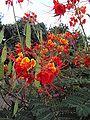 Caesalpinia pulcherrima flower n seed pods 2.jpg