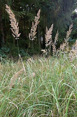 Calamagrostis epigejos - Image: Calamagrostis Epigejos