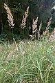 CalamagrostisEpigejos.jpg