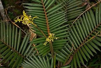Calamoideae - Calamus gibbsianus.