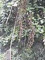 Calamus rotang-1-braemore-kerala-India.jpg