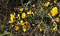 Calicotome villosa RF.jpg