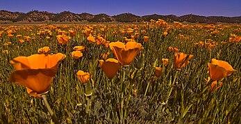 Eschscholzia californica wikipedia antelope valley california poppy reserve bear valley mightylinksfo