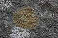 Caloplaca holocarpa (35084868970).jpg