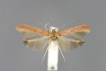 Caloptilia elongella