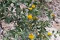 Calostephane divaricata-2296 - Flickr - Ragnhild & Neil Crawford.jpg