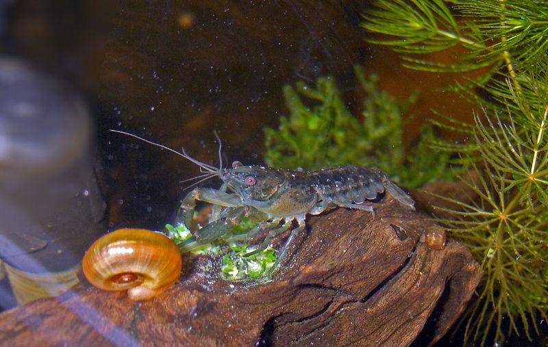 File:Cambarellus patzcuarensis-feeding.jpg