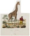 Camelopardalis giraffa - 1700-1880 - Print - Iconographia Zoologica - Special Collections University of Amsterdam - UBA01 IZ21600127.tif