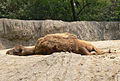 Camelus dromedarius laying down.jpg