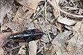 Campsosternus mirabilis (34833483884).jpg