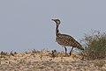 "Canarian Houbara Bustard (Chlamydotis undulata fuerteventurae), ""El Jable"" Plains, Lanzarote (33074800964).jpg"
