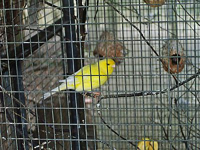 Canary in a cage-4a.jpg