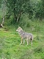 Canis lupus-Wolf-Polar Park Norway-Female.jpg