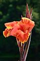 Canna - Indian Botanic Garden - Howrah 2012-09-20 0079.JPG