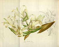 Canna liliiflora Fl. Serres 10.1055-1056. 1855
