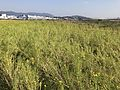 Canola field on north side of Fukuoka Airport 4.jpg