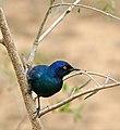 Cape Glossy Starling (Lamprotornis nitens) (32227717966).jpg