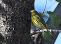 Cape May Warbler (37668480522).jpg