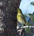 Cape May Warbler (37700882211).jpg