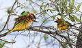 Cape Weaver, Ploceus capensis - screaming match - at Walter Sisulu National Botanical Garden (9953916204).jpg