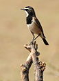 Capped Wheatear, Oenanthe pileata at Pilanesberg National Park, South Africa (10462850796).jpg